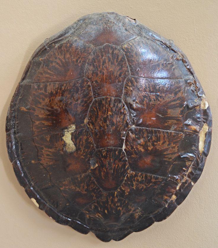 Caparazón / Concha de tortuga  Nota: En el Museo de Caja de Muertos exhiben varios caparazones de diferentes tipos o clases de tortugas.