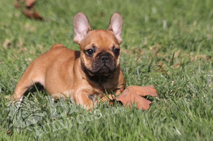 Ruthie F French Bulldog Dogs Pup