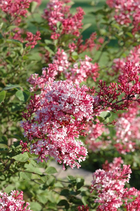Tinkerbelle lilac bush - I want this lilac one day!! (when I have a garden I can actually plant)