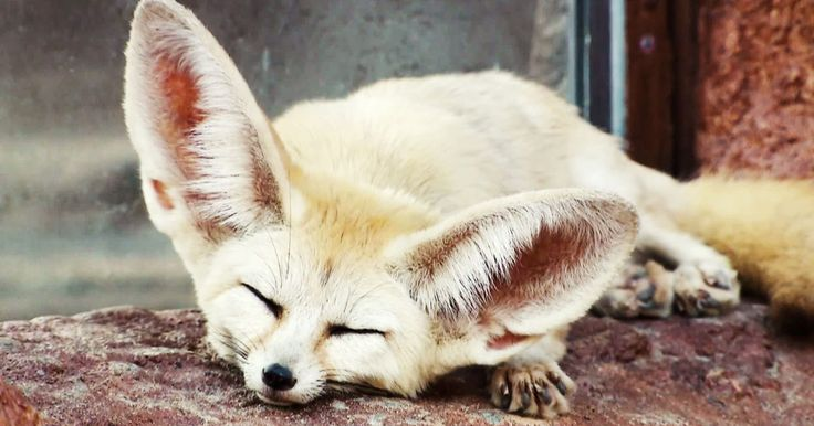 The fennec fox is here to make you forget about all your troubles. Just look at this thing.