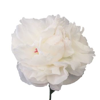 FiftyFlowers.com+-+Fiesta+White+Peony+Flower+July+Delivery