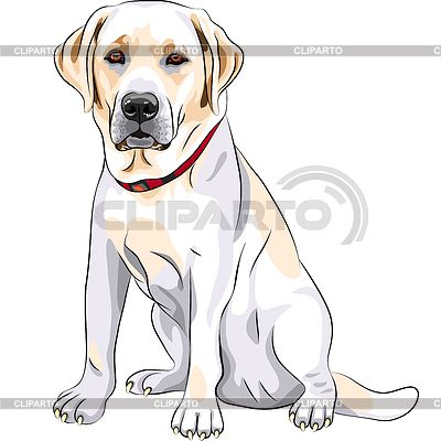 Bosquejo amarillo perro de raza Labrador Retriever sentado   Ilustración vectorial de stock   ID 3345737