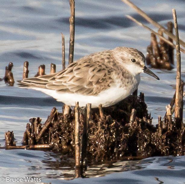 Red-necked Stint - Hexham Swamp