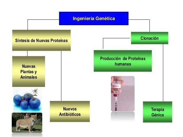 BENEFICIOS FUTUROS DEL DNA  RECOMBINANTE  La terapia por reemplazo de genes para el  tratamiento de enfermedades  hereditarias...