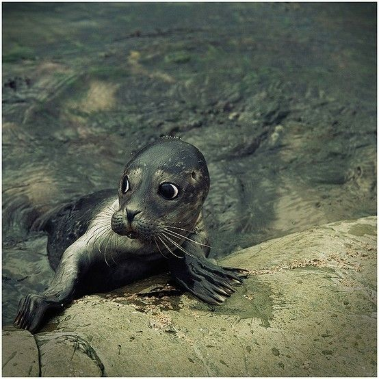 Baby seal....omg....so cute! | Animals | Pinterest