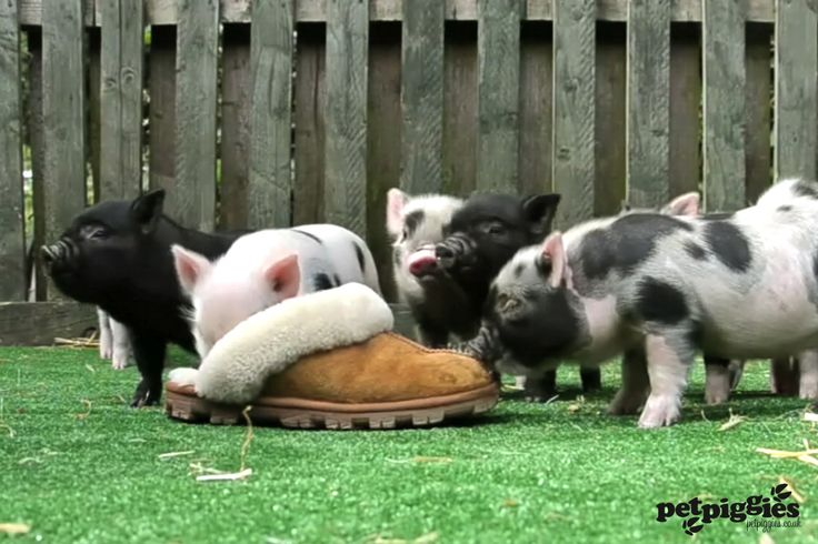 Micro Pig Services
