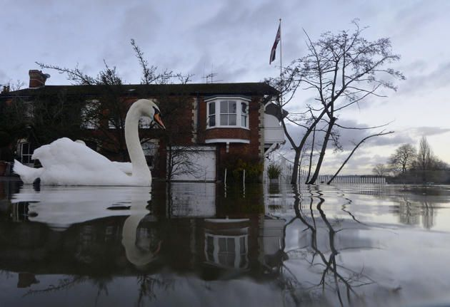 Swans swim near riverside properties partially submerged in floodwaters at Henley-on-Thames in southern England, January 13, 2014. Britain's insurers are preparing to pay out hundreds of millions of pounds in claims following a run of winter storms that have flooded homes and disrupted travel, though the absence of major damage should limit the impact on their 2013 results.