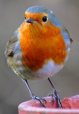 European Robin, Erithacus rubecula. Old World flycatcher. Have you ever seen anything so beautiful?!
