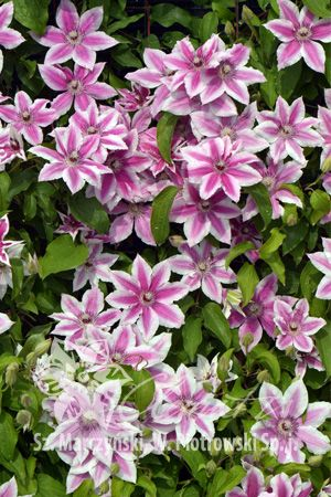 Clematis 'Carnaby' A moderately fast growing cultivar with bicolor flowers, free-flowering from May to July. Deep raspberry-pink tepals with a deeper bar and white edges, red anthers. It doesn't like extremely hot, sunny areas, performs well in shade. Excellent for fences, walls, arbors, pergolas, trellises and poles. It can also be grown over natural supports such as coniferous or deciduous bushes and dwarf shrubs.