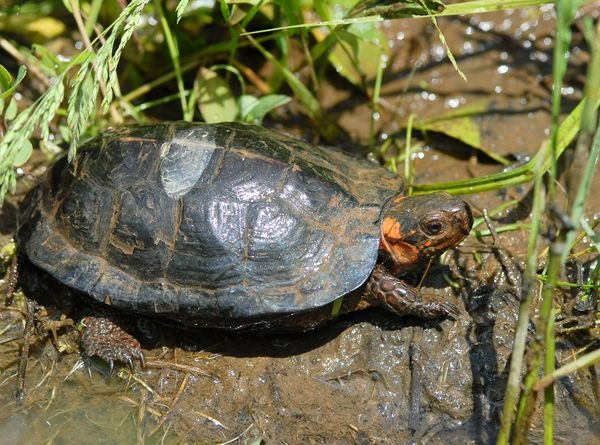 1000+ ideas about Freshwater Turtles on Pinterest Snapping Turtle ...