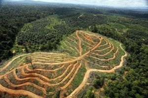 Forest clearing for palm oil destroys habitat for endangered species (especially elephants and ornagutans) and contributes to climate change.