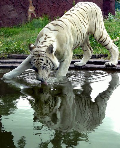 Tigre blanc. Reflet. Les tigres sont en voie de disparition.