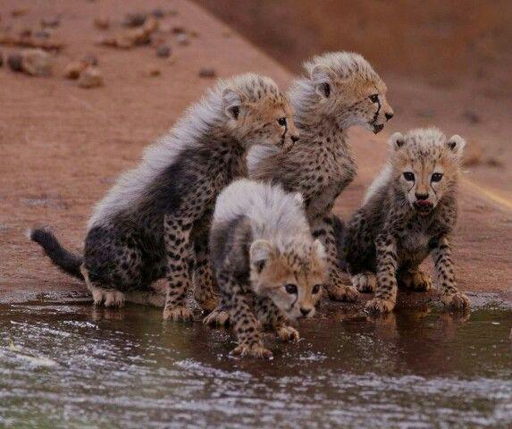 Cuccioli di ghepardo al Meru National Park #WhyILoveKenya #Kenya #Safari