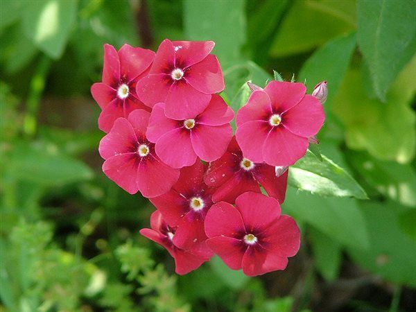 45 best images about phlox on pinterest gardens sun and cuba. Black Bedroom Furniture Sets. Home Design Ideas