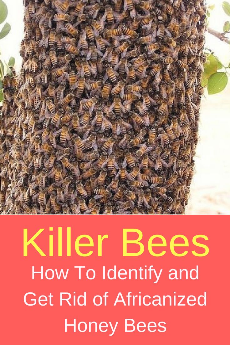Killer Bees How To Identify And Get Rid Of Africanized Honey Bees Bees And Plans Bee Killer Africanized Bees Bee