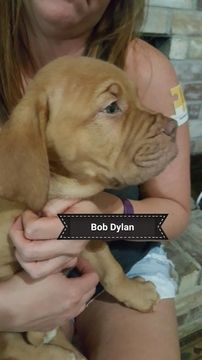 Litter of 9 Dogue de Bordeaux puppies for sale in ARLINGTON, TX. ADN-38674 on PuppyFinder.com Gender: Male. Age: 10 Weeks Old
