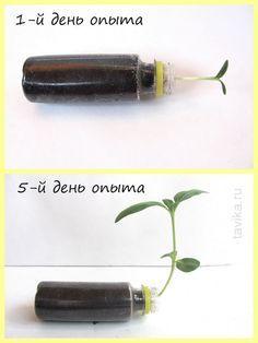опыты с растениями для детей: геотропизм