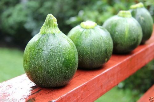 round zucchini squash heirloom open pollinated bush 100 seeds squash summer products. Black Bedroom Furniture Sets. Home Design Ideas
