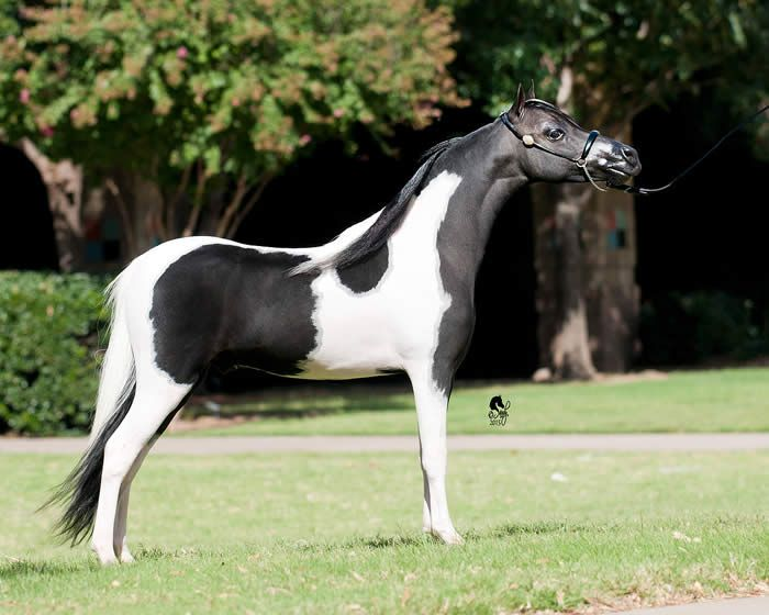 424 best Miniature Horse Colts for Sale images on Pinterest - horse sales contracts