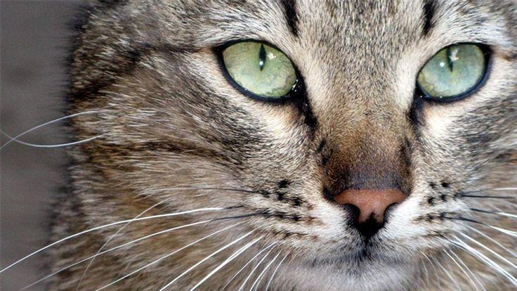ВСЕ ПРО КОШЕК: Как кошка стала домашней?