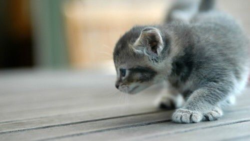 See more Cat pictures at http://wallpapersnow.com  #animals #cats #cute #kitten #pets