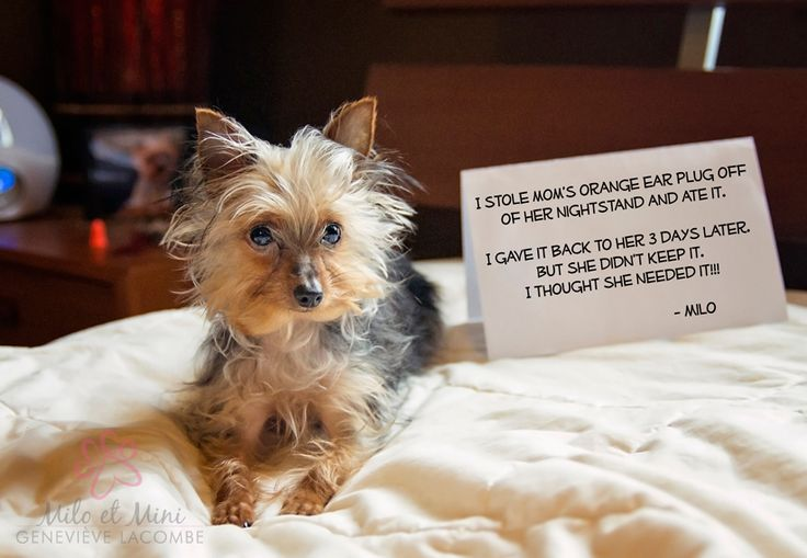 DOG SHAMING - I stole mom's orange ear plug off of her nightstand and ate it. I gave it back to her 3 days later. But she didn't keep it. I thought she needed it!!! - Milo  * #yorkie #yorkshireterrier #dog #dogshaming