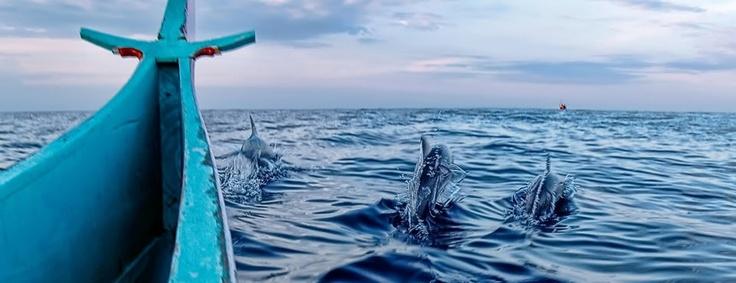 Dolphins swimming beside canoe at Teluk Kiluan, Lampung, Indonesia.