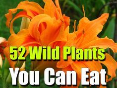 52 Wild Plants You Can Eat - SHTF, Emergency Preparedness, Survival Prepping, Homesteading