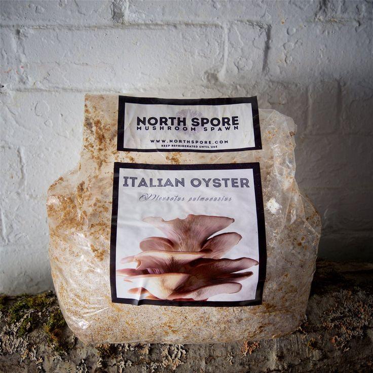 Italian Oyster Mushroom Spawn $20 from Northspore