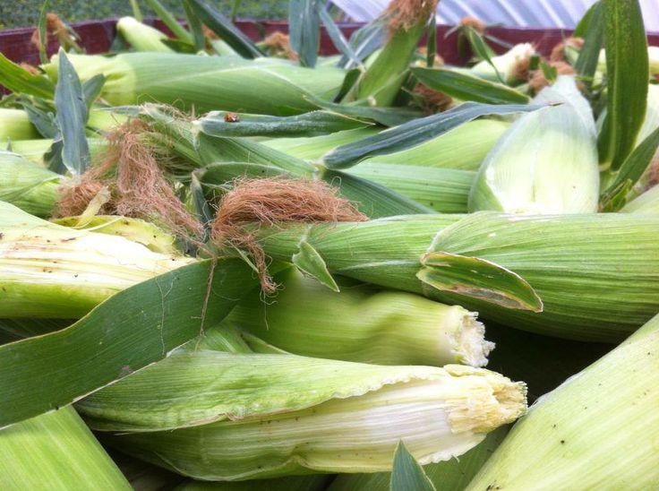 Delicious organic corn from Covert Farms! #organic #farming #covertfarms