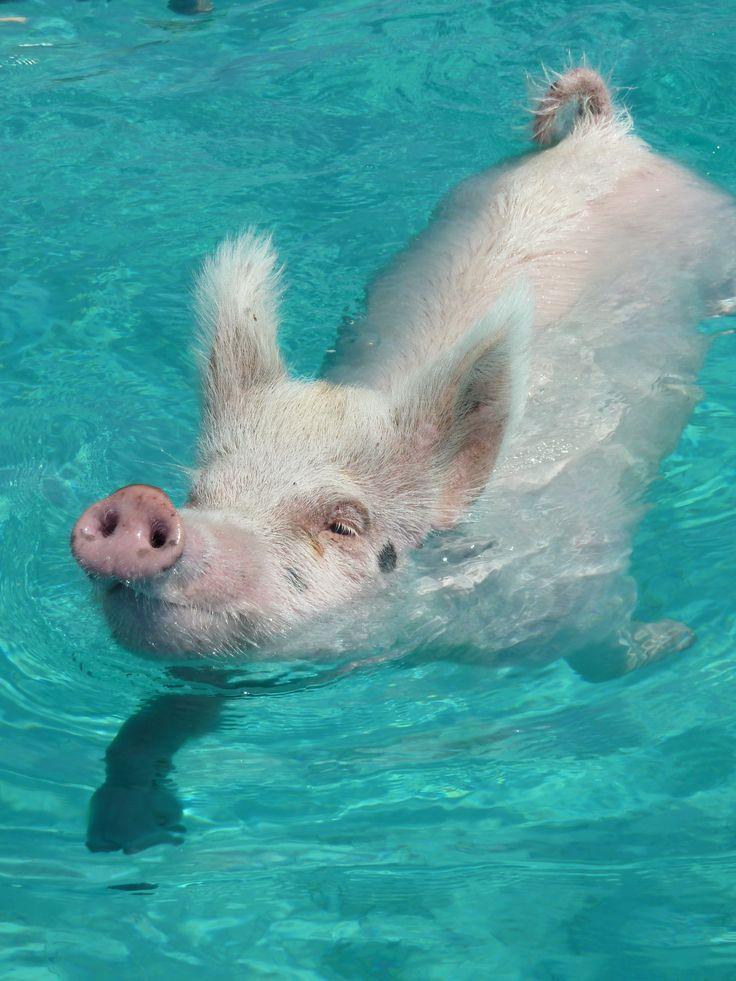 Kaum zu glauben, den Schweinen haben die Cays der Exumas so gut gefallen, dass sie  sich dort niedergelassen und schwimmen gelernt haben.