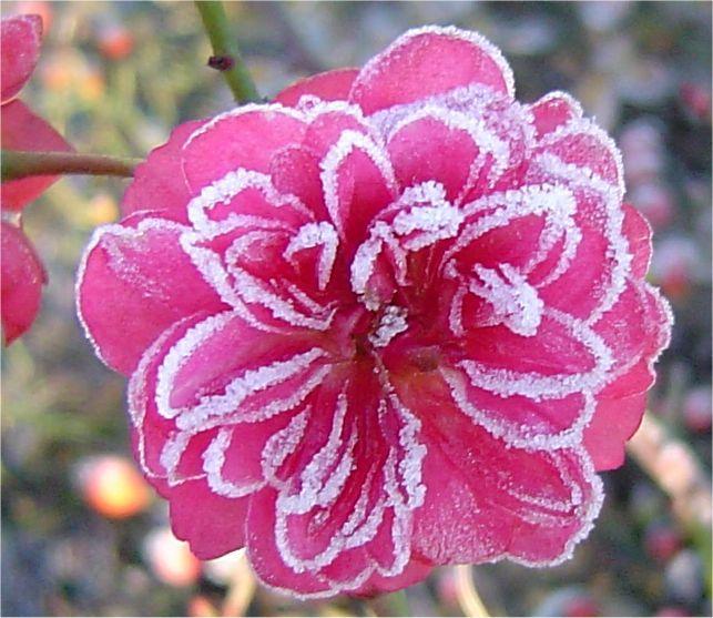 Le roselline hanno continuato a fiorire ed ora la brina le ha rese davvero una meraviglia!