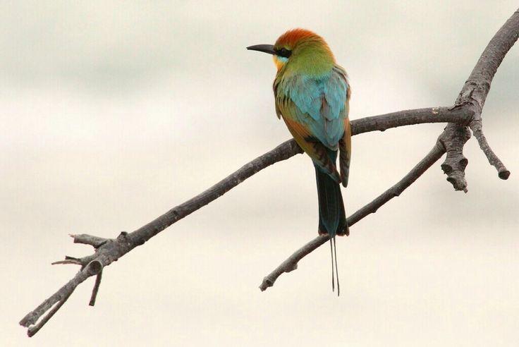 Rainbow Bee-eater.  Photo by Lee Mason.