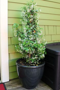 A guide to potted Star Jasmine