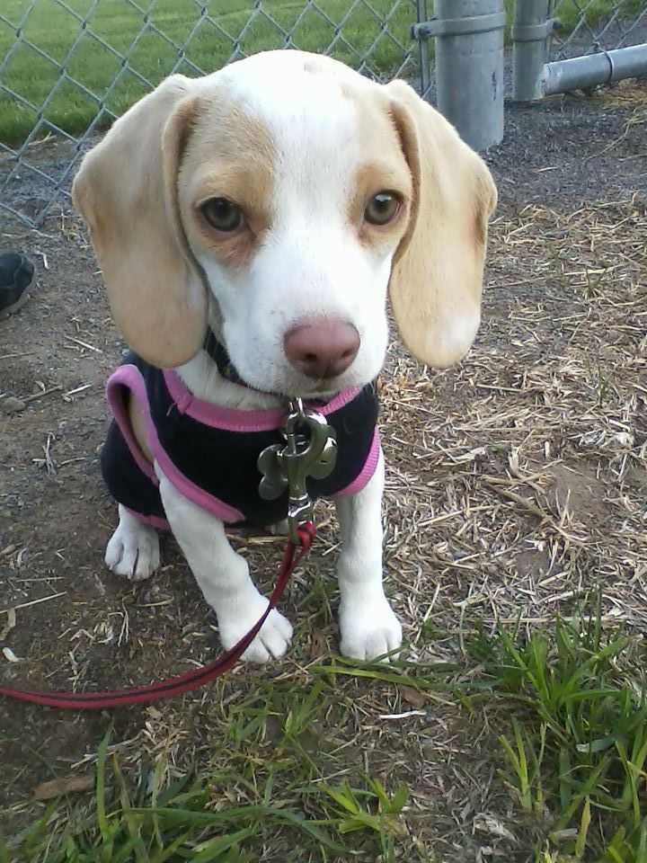lemon pocket beagle - photo #2