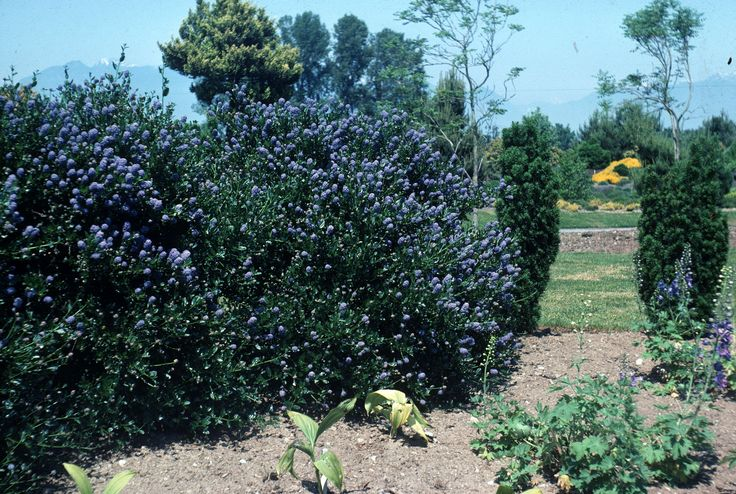 50 best images about drought tolerant hedge ideas on for Fast growing drought tolerant trees
