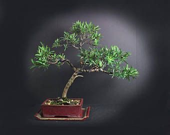"Pringles Podocarpus bonsai tree""Summer'17 Exotics Collection by LiveBonsai Tree"
