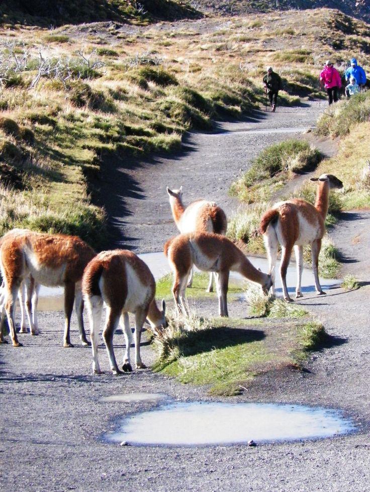 guanacos , torres del paine , patagonia , Chile
