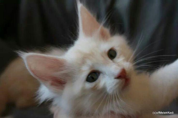 Poppy pearl ( 7 weeks old )  , breeder Gabi Bauer   ( find on Facebook )