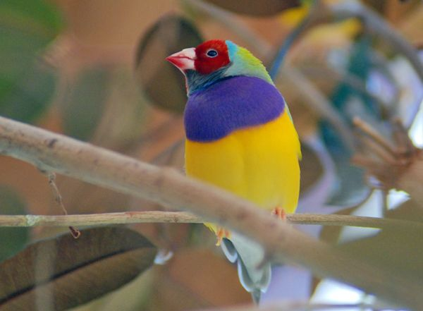 "Gouldian Finch (Erythrura gouldiae). A native Australian bird, its range includes tropical northern sub-coastal areas from Derby, Western Australia, to the Gulf of Carpentaria and central Cape York Peninsula and is found near water on treed grassland and the edges of mangroves. The conservation status in the 2004 IUCN Red List of Threatened Animals is ""endangered""."