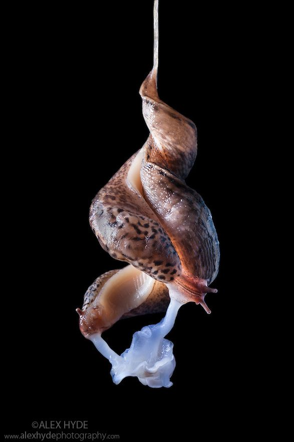 Slug limax - More information
