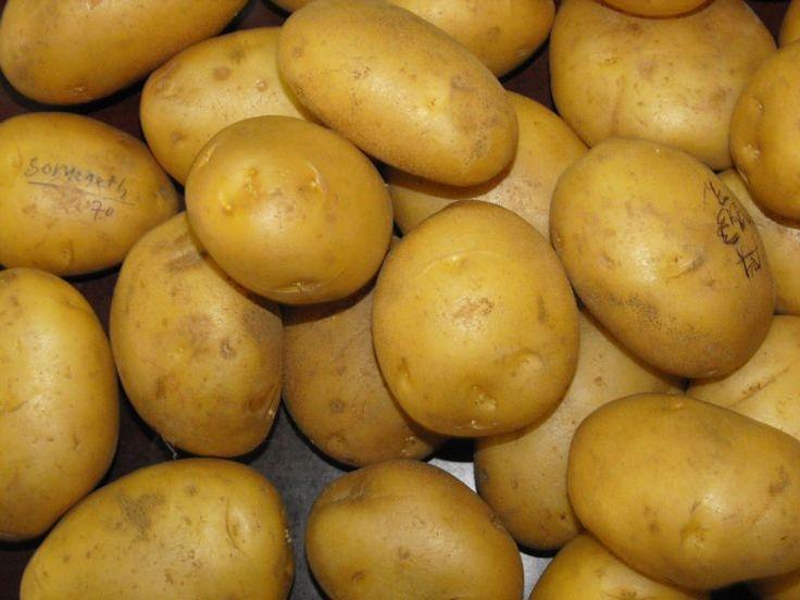 Αρχείο:Ποικιλία πατάτας Spunta.jpeg