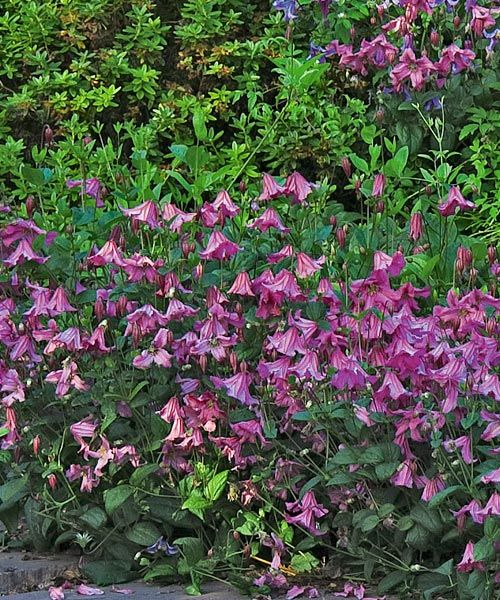 Záhonový pokryvný plamének!  Plamének ´Heather Hershell´. Tato půdopokryvná, nepopínavá odrůda plaménku se sází mezi trvalky, růže nebo nižší keře. Ostatní rostliny nijak neobtěžuje, neboť se po nich neplazí, výhony zůstávají na zemi, jen vztyčené květy ve tvaru růžových zvonečků směřují vzhůru za sluncem. Naprosto nenáročný a mrazuvzdorný. Rychle odnožuje a bohatě kvete. Stanoviště: plné slunce - polostín.  Doba kvetení: červenec - září.  Výška: 1,5 m.
