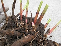 CMs A Cut Above Blog: Divide and Conquer - 5 Easy steps to dividing and transplanting peonies