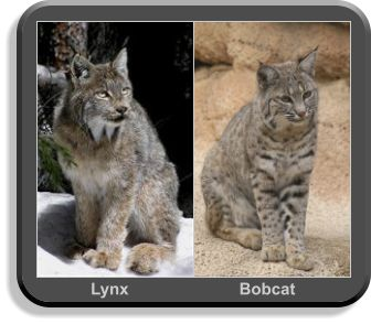 Bobcat Size Compared To House Cat
