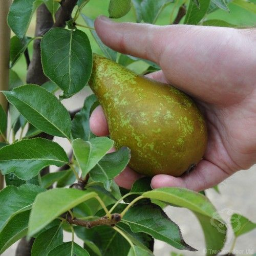 Conference Pear Tree Gift £24.99