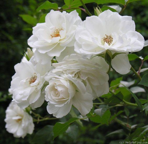 Le rosier Iceberg est un buisson vigoureux, aux fleurs semi-doubles blanc pur et au parfum léger. Il doit sa célébrité à son excellente résistance aux maladies, ce qui n'est pas toujours le cas en pratique. Très remontant, en fleurs de juin aux gelées. Floribunda. Kordes 1958.