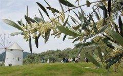 日本のオリーブ栽培発祥の地で国内最大の生産量を誇る小豆島香川県でオリーブの花が開花あひました 小豆島町の道の駅小豆島オリーブ公園では早生種のマンザニロから開花が進んでおり観光客の写真スポットになっているそうですよ() 皆さんも行かれてみてくださいね tags[香川県]