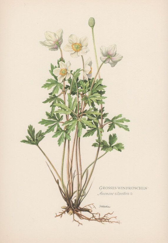 1950's Botanical Print Anemone sylvestris by AntiquePrintGarden