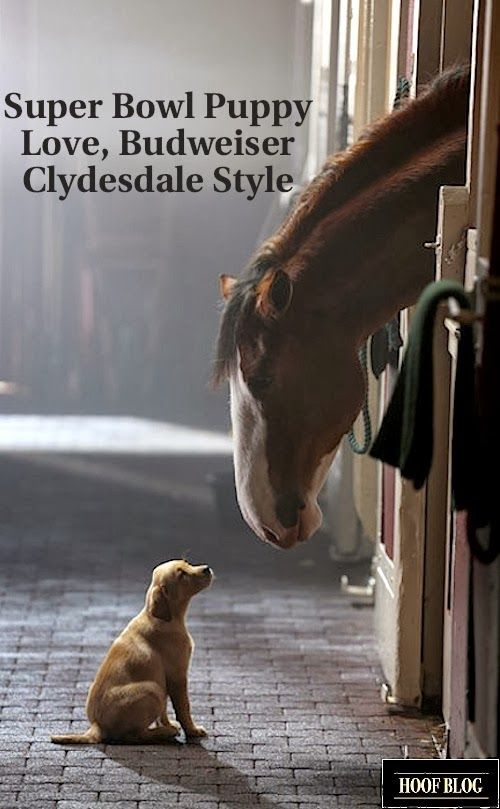 budweiser commercial for super | Budweiser Clydesdales 2014 Super Bowl Commercial: Expect Big Horses, a ...